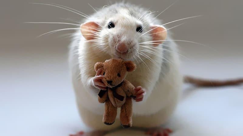 Les locaux de Vogue envahis par les rats