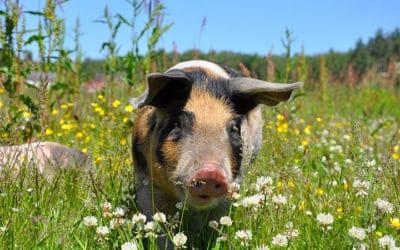Du porc dans tous les menus médiatiques !
