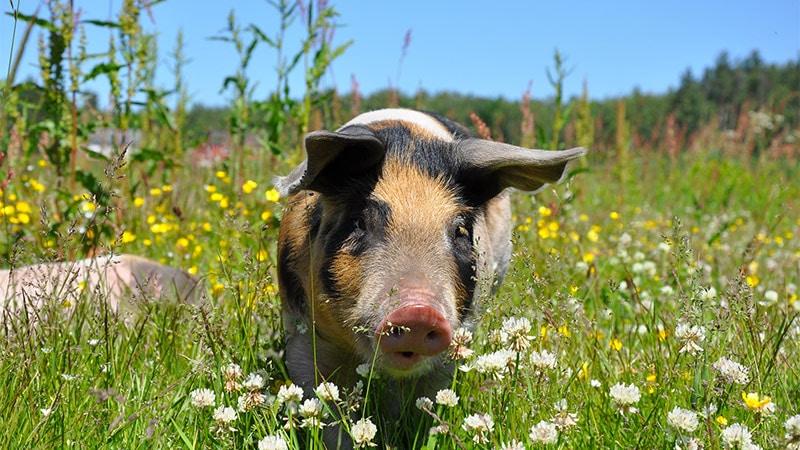 Du porc dans tous les menus médiatiques!
