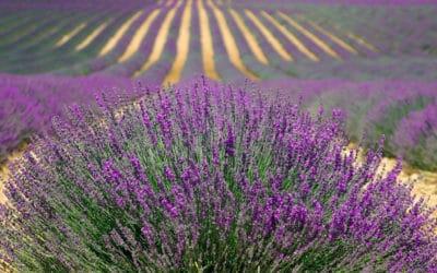 Pas de lavande pour La Provence